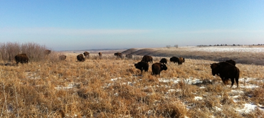 Bison grazing on the Konza prairie during my interview trip to K-State